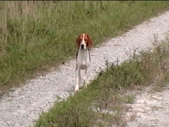 Clear Creek Beagles puppy Hadley starts off feeling a little shy but soon joins up