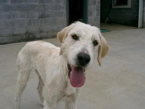 Sassoon hound