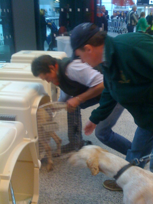 The hounds loaded into their travel crates at Heathrow without any fuss.