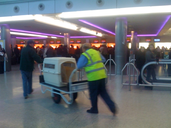 On their way! Strawberry gets wheeled off to be weighed before the flight from Heathrow to Chicago O'Hare