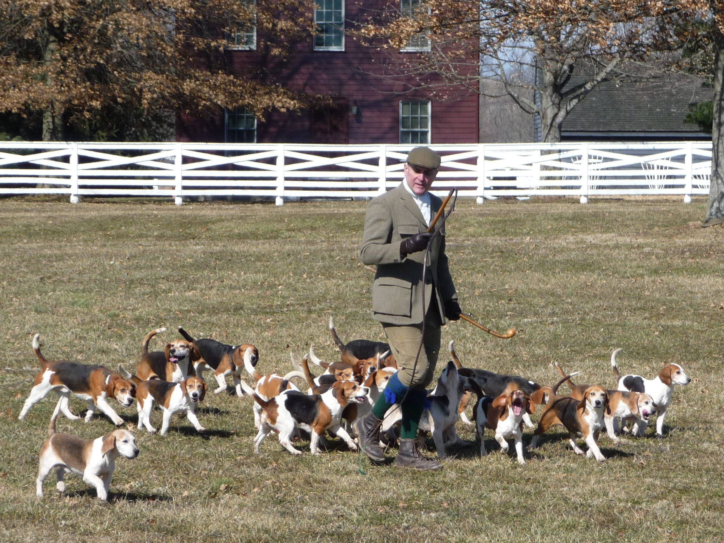 Beagle hunting fox - photo#2