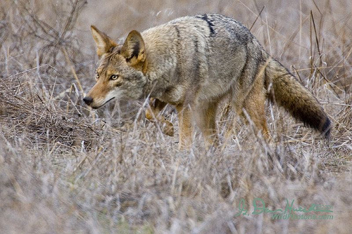MFHA hunt staff seminar, part 4: Wiley Coyote (4/6)