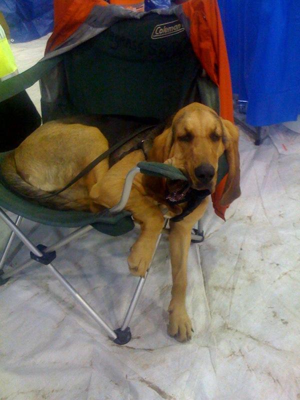 ... Beagle Mix Six-month-old bloodhound Dachshund Lab Beagle Mix