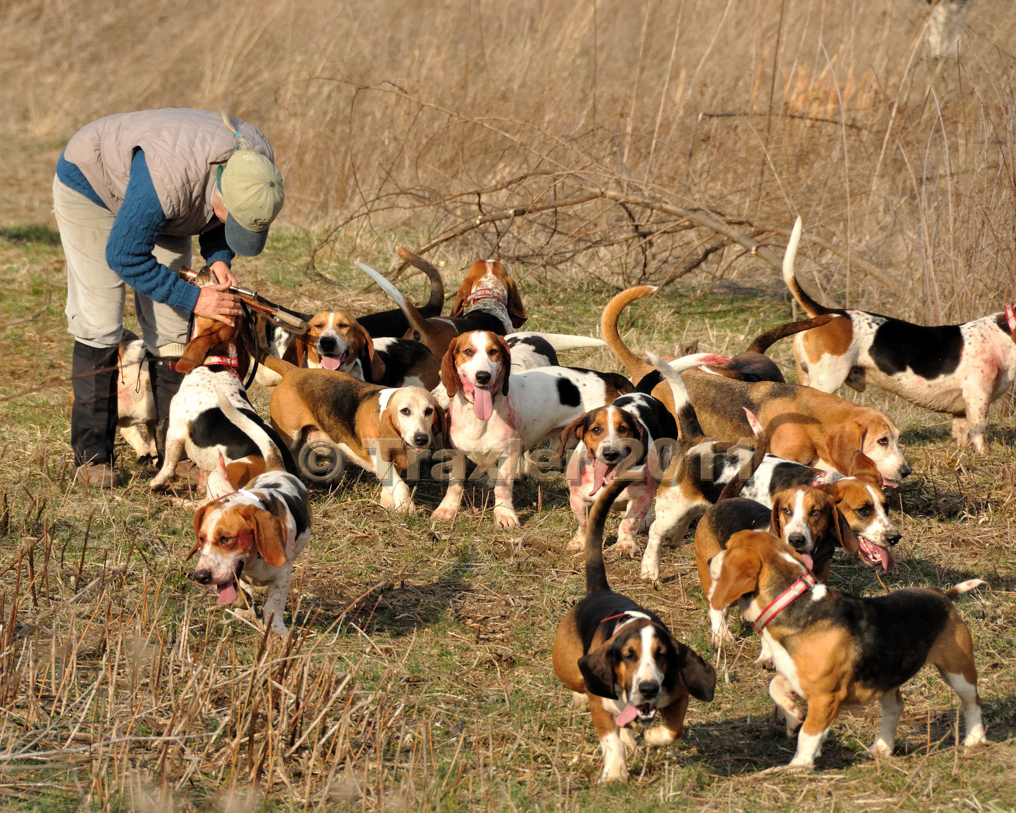 Beagle hunting - photo#15