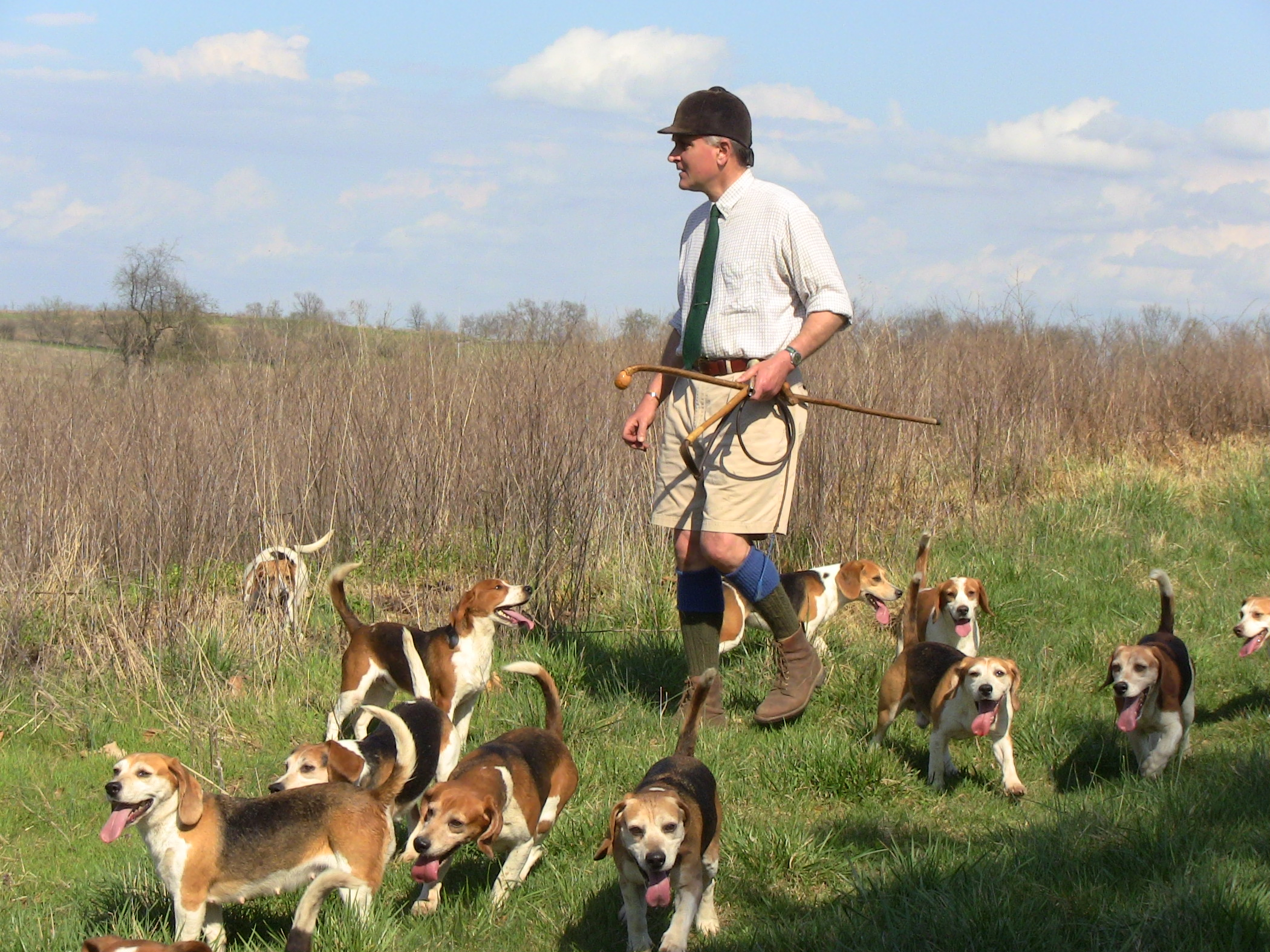 Beagle hunting fox - photo#10